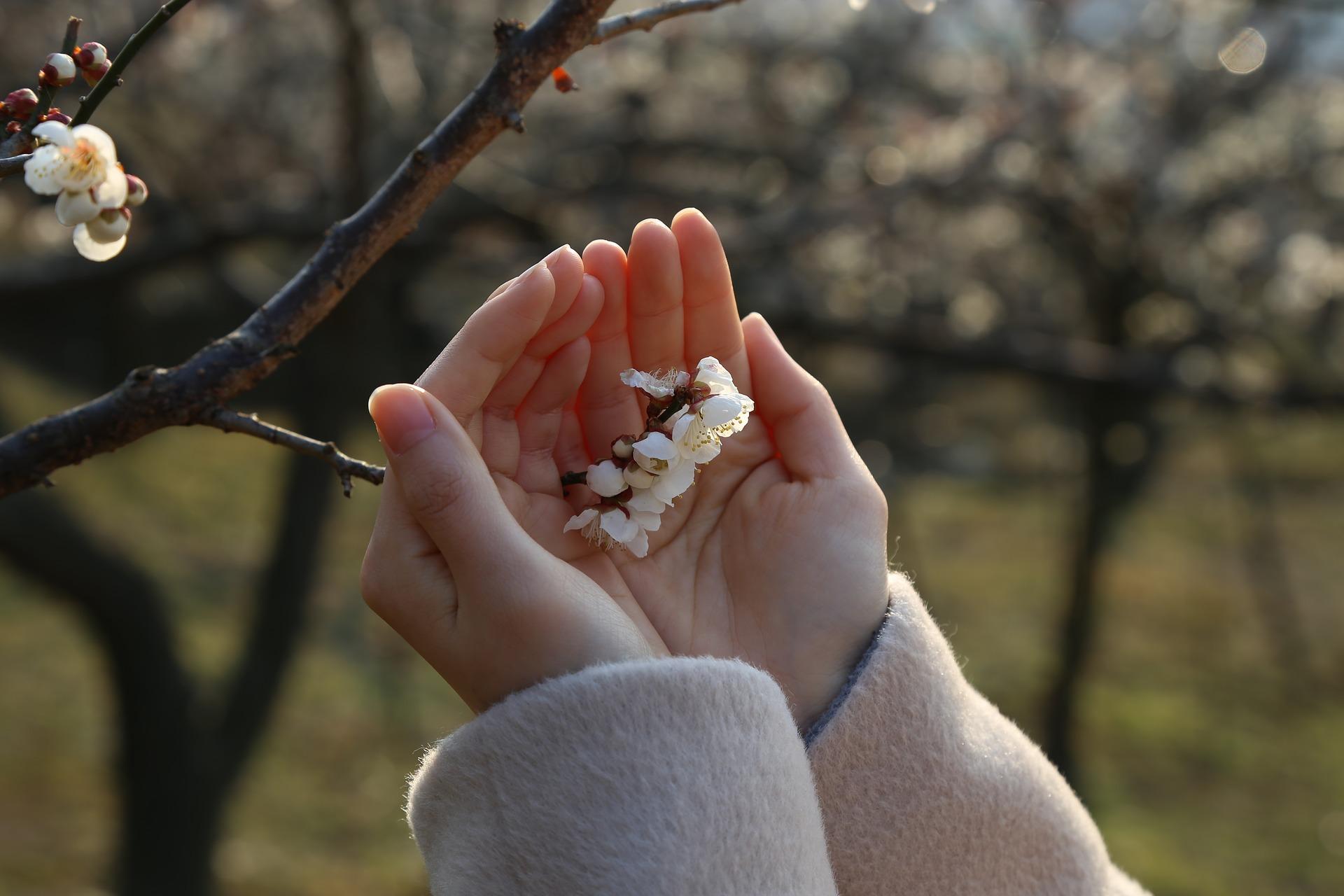 Hände mit Kirschblüte